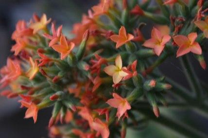 Flor de Tzompantle